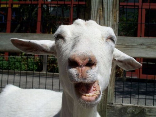 Laughing-goat.jpg
